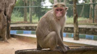 Sudan'dan at ve eşek etinden sonra maymun eti de gelecek!